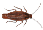 Image of a German Cockroach (Blattella germanica) | Rentokil Pest Control UK